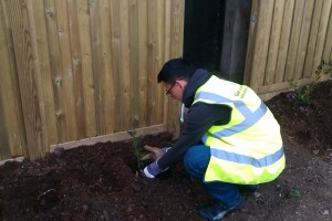planting holly
