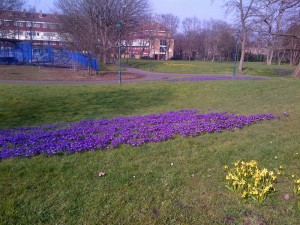 Crocuses in full bloom