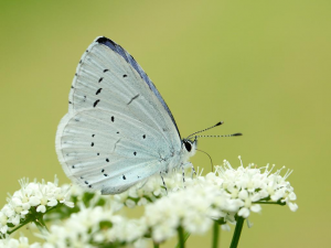 Holly Blue (folded wings)
