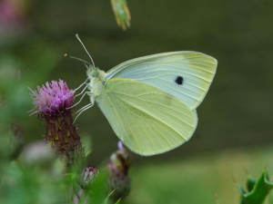 Small White (folded wings)