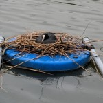 nesting on the lake