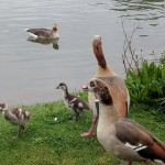 Egyptian geese by Burgess Lake