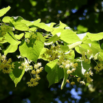 Photo of Lime blossom