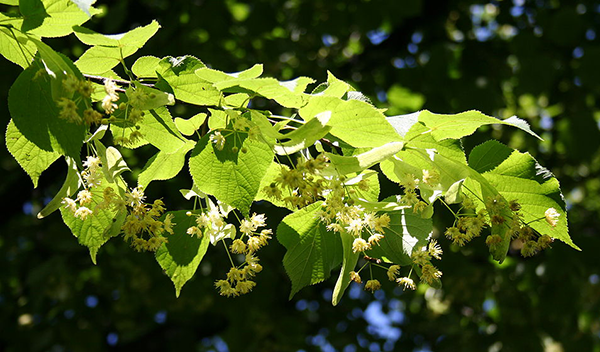 Photo of Lime flowers