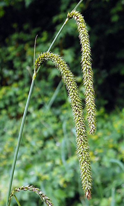 Photo of sedge flowers