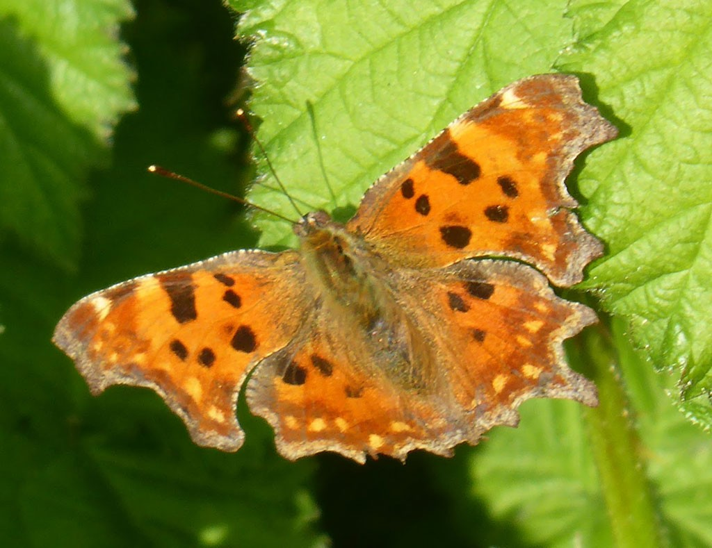 Photo of orange spotted butterfly