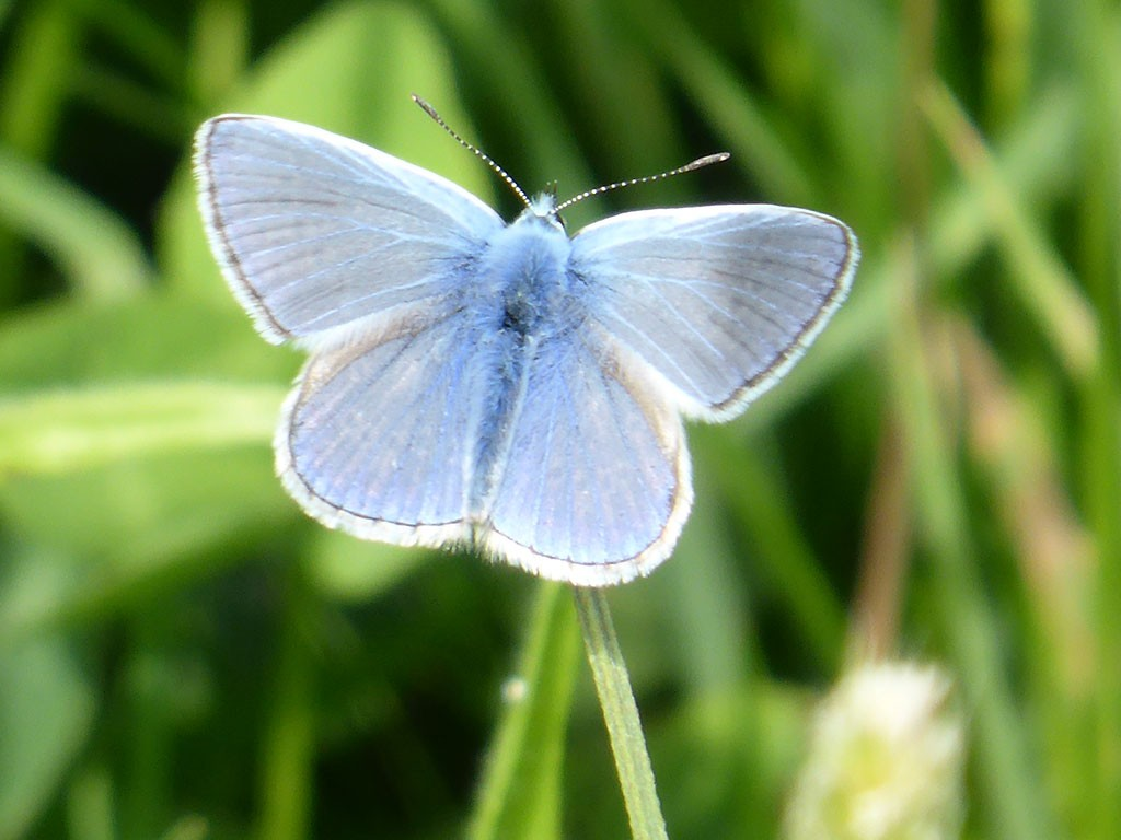 Photo of pale blue butterfly