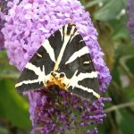 Photo of striped moth