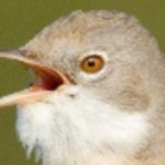 Burgess goes wild: Sparrows, Starlings, Whitethroats, Warblers