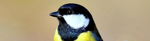 Head of Great Tit