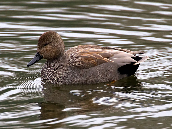 Gadwall swimming