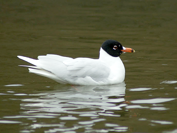 Mediterranean gull swimming