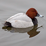 Pochard swimming